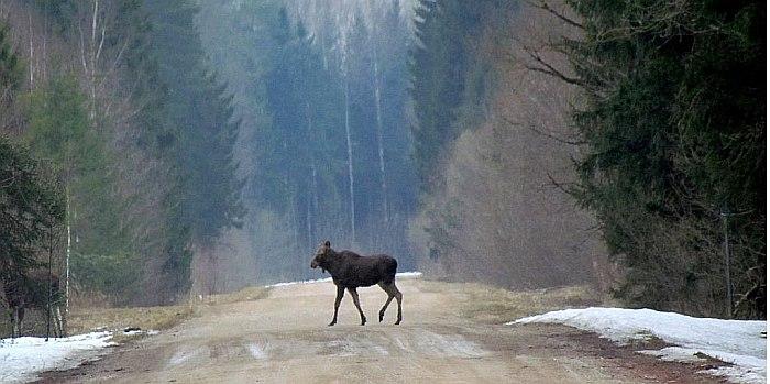 briedziai-kelyje