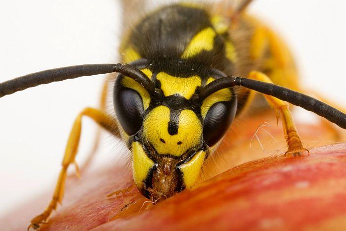Bitė, širšė ir vapsva: nuo naudos iki pavojaus gyvybei