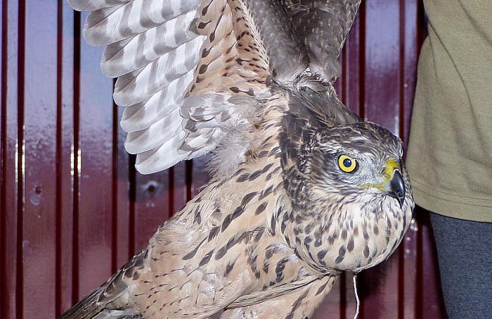 Prienų rajone į Raudonąją knygą įrašytą paukštį pagavę ir nužudę asmenys gavo baudas